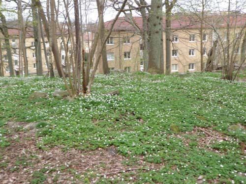 Gravhögen sedd med bostadshusen kring Kärrhöksgatan i bakgrunden.  (Foto: Per Hallén 2012).