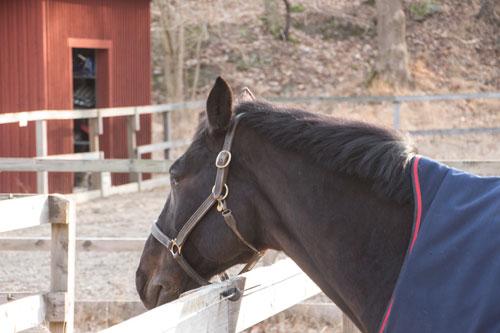 Vid Lilla Torp finns lagens fyrbenta väktare, på skärtorsdagen verkade hästarna något sömniga...
