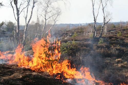 2008 brände Park och Naturförvaltningen ljung på Getryggen, kanske såg det ut på samma sätt under branden 1892. Foto: Per Hallén
