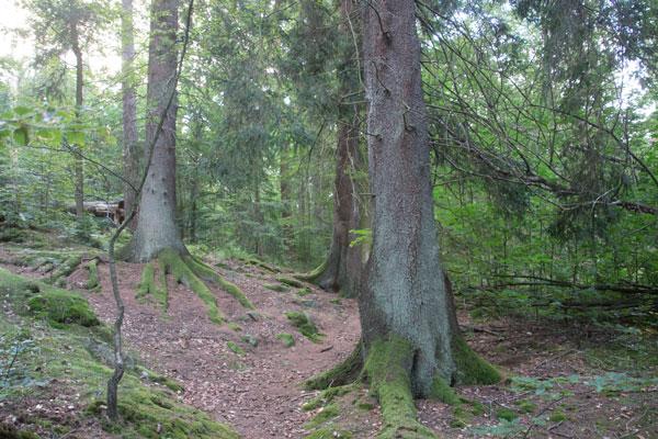 Granskogen finns kvar vid Stora Torp. Foto: Per Hallén 2015