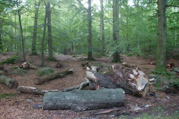 Här läggs träd för att bli föda åt insekter och svamp. Foto: Per Hallén 2015