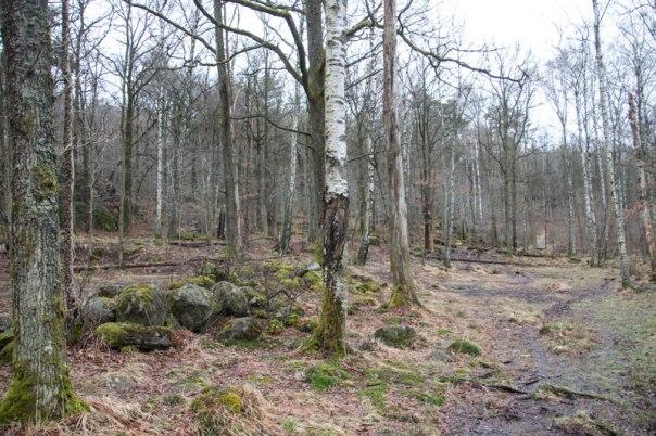Nära mossmarken syns tydliga spår av en terrass som torparna på Sandhåla uppförde för att få mer mark till odling. Foto: Per Hallén 2016.